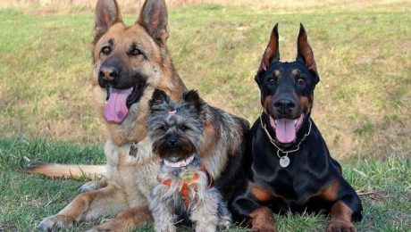 Psy szczepienia przeciw wściekliźnie