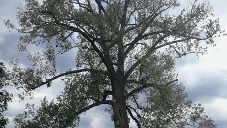 Topola w Parku Stawy Walczewskiego